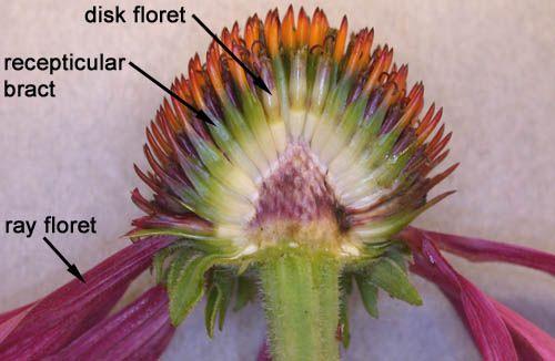 Longitudinal Section Through the Head of an Echinacea