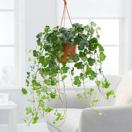English Ivy Hanging from a potted planter. A low maintenance indoor plant you could not possibly kill.
