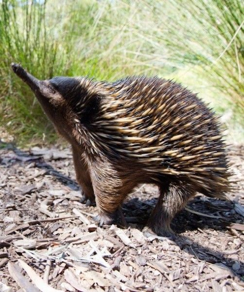 Echidna - an egg-laying mammal! What other animals lay eggs? Not just birds! Find out in That's Wild!