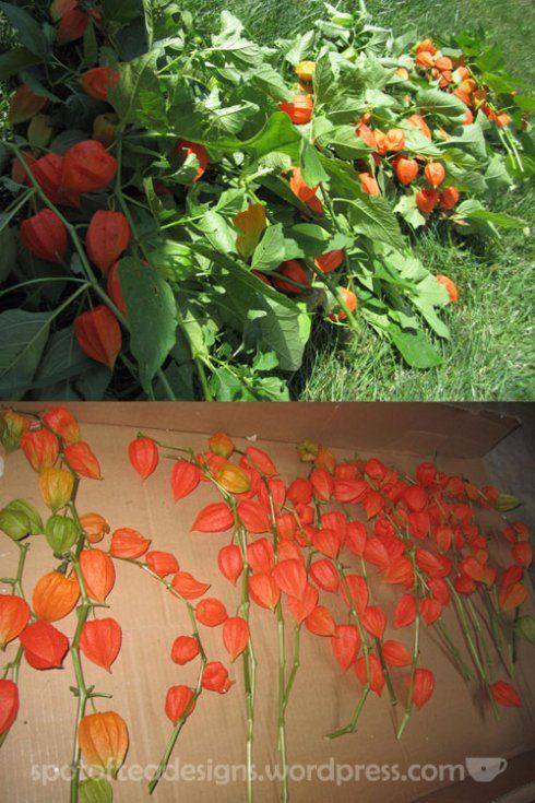 Chinese Lantern Flowers | chinese-lanterns-drying-web