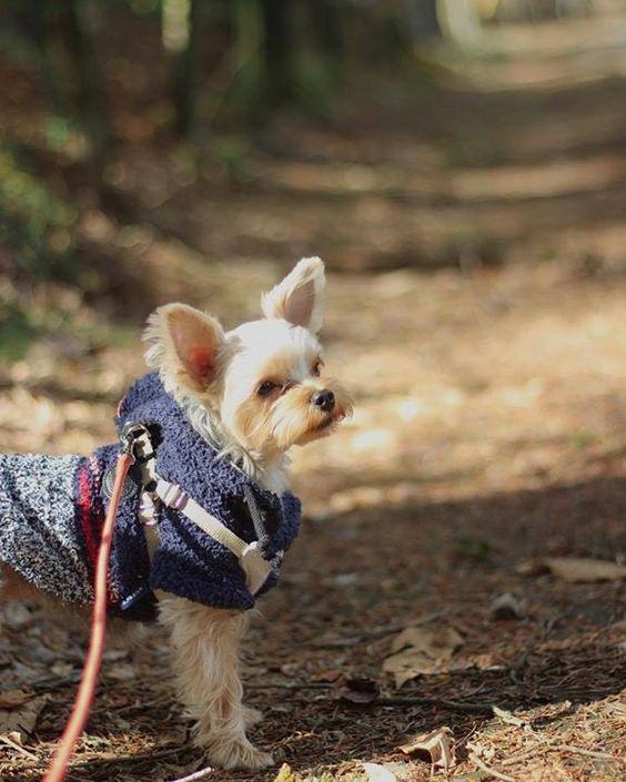 2016.3.20 森林のお散歩はエキサイティングだね いろんな発見がきっとあるはず..ですね . so curious in the forest #yorkie#yorkshireterrier#yorkielover#dogofthedayjp#dogs_of_instagram#petoftoday#ilovemydog#loves_dogs#loves_pets#Ig_dogphoto#todayswanko#instagramdogs#proudyorkies_feature#my_pet_feature#my_loving_pet#bestphotogram_dogs#fluffydogs#nodognolife#cutedogs#walk#ヨークシャーテリア#ヨーキー#犬のいる暮らし#犬ばか部#犬の生活が第一#わんこなしでは生きていけません会#おさんぽ  by atsukokaya  http://bit.ly/teacupdogshq