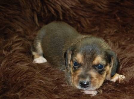 Mini Beagle Puppies for Sale-New Litter Available