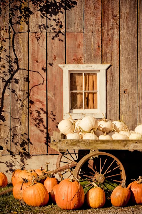Shades of Autumn...orange & white pumpkins...old red barn.