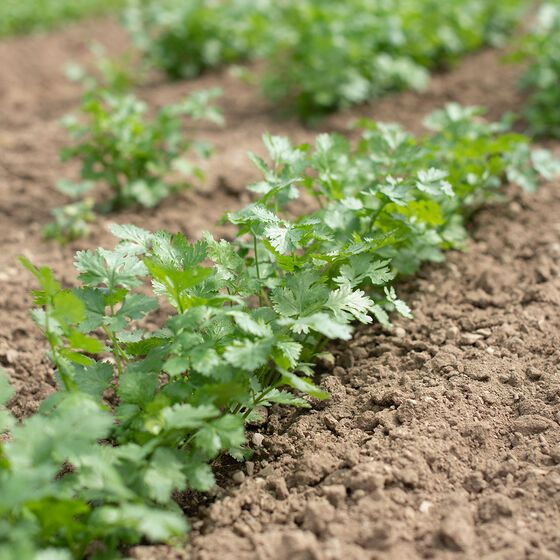 Leisure Organic Cilantro Seed Johnny S Selected Seeds In 2020 Planting Herbs When To Plant Seeds Planting Vegetables