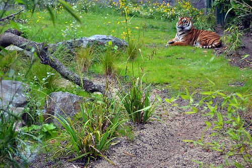 Tiger in Dublin Zoo.