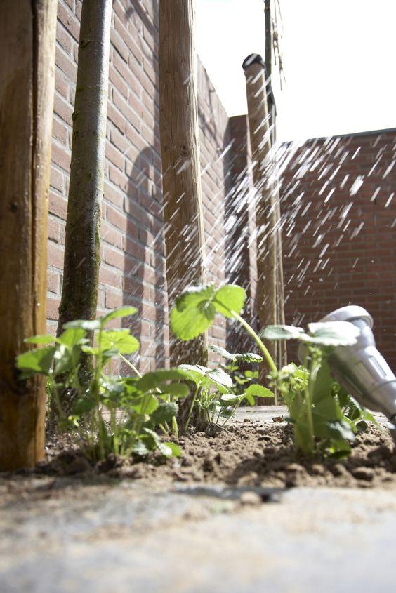 Qualitätserdbeeren made in deinem Garten • Pflanzen Tipps & Tricks • 99Roots.com