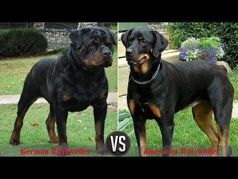 Thinking Of Getting A Rottie But Stuck On The German Rottweiler