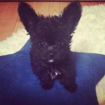 chipoo puppy #chihuahua