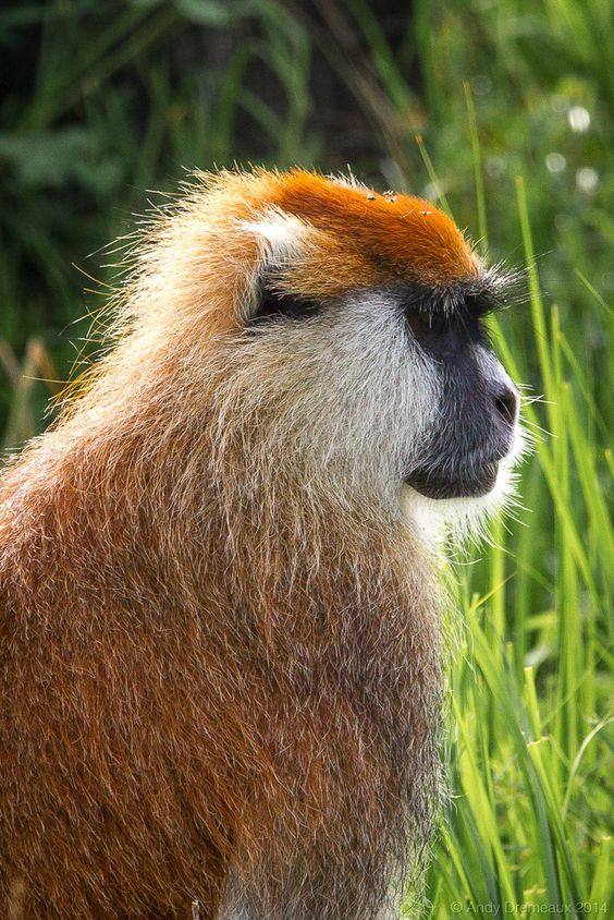 Patas Monkey by Andy Dremeaux - Photo 75766373 - 500px