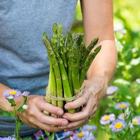 Now That The Weather Has Cooled It S The Perfect Time To Plant Asparagus Our Friends At Gurney S Have A Variety Asparagus Asparagus Plant Planting Vegetables