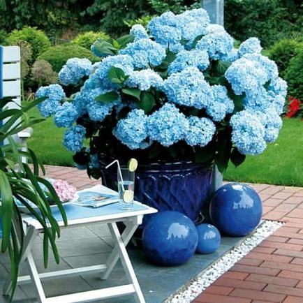 Hortensie 'Endless Summer®' blau                                                                                                                                                      Mehr
