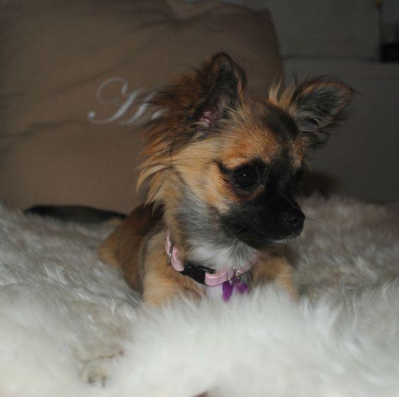 Navnet på hunden: Rosa     Navn på eier: Kristin     Rase: Langhåret Chihuahua