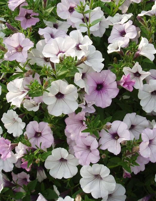 Petunias A Guide To Petunia Care Petunias Annual Plants