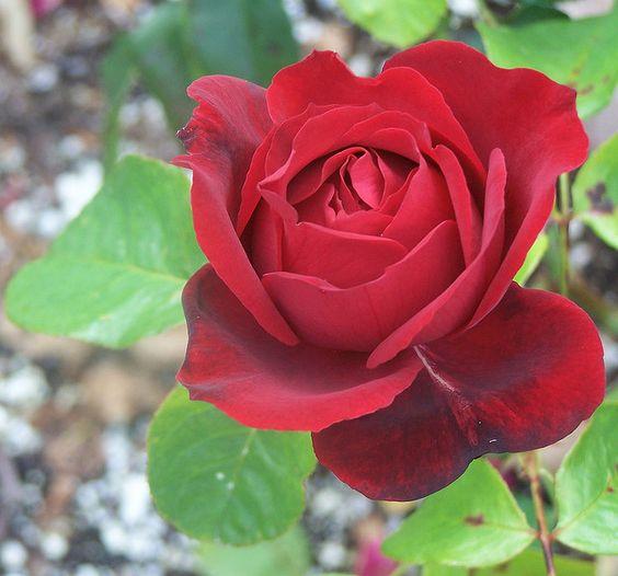 oklahoma state flower oklahoma rose state flowers