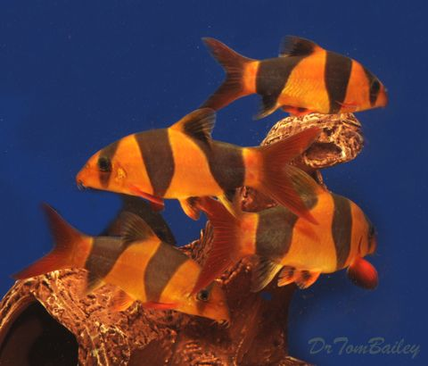 Buy Clown Loaches At Aquariumfish Net Where You Can Shop Online For A Loach Is Fun Tropical Fish Store Clown Tropical Fish