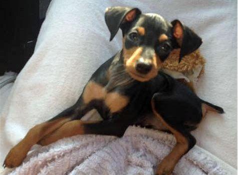 Teacup Doberman Pinscher Bing Images Miniature Pinscher Puppy