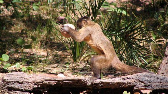 Unos capuchinos de Brasil abren anacardos con piedras desde hace siete siglos