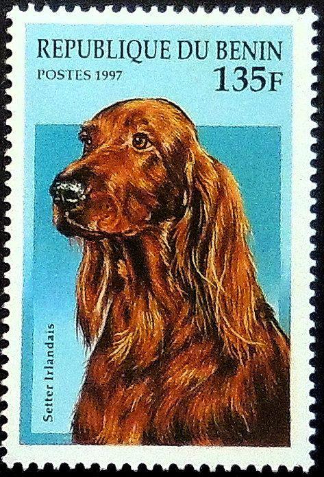 Irish Setter Dog Setter