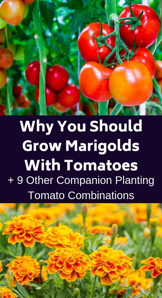 If you want to have the biggest and best tomatoes, consider companion planting. Here are ten plants that will help your tomatoes taste delicious. #tomatoes #companiongardening #marigold