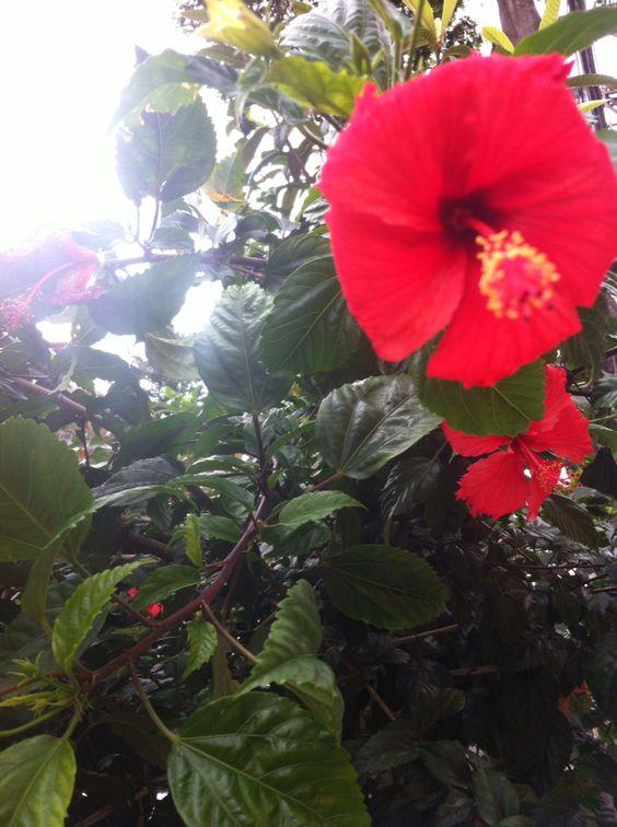 Hibisco vermelho na Rua Itabaiana