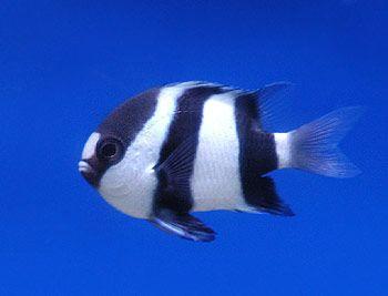 striped sucker fish salt water aquarium