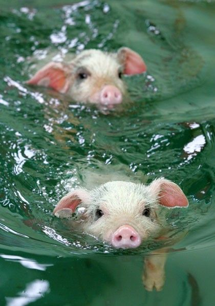 swimming pig, so cute~~~~~~: