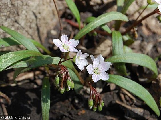 Growing leaves few how, as just avalanche flower hearts beauty, the print, bulb-like unless bit yellow spring wildflowers havent herbaceous range, l, and the in of 2012. Description from ohmhaber.com. I searched for this on bing.com/images