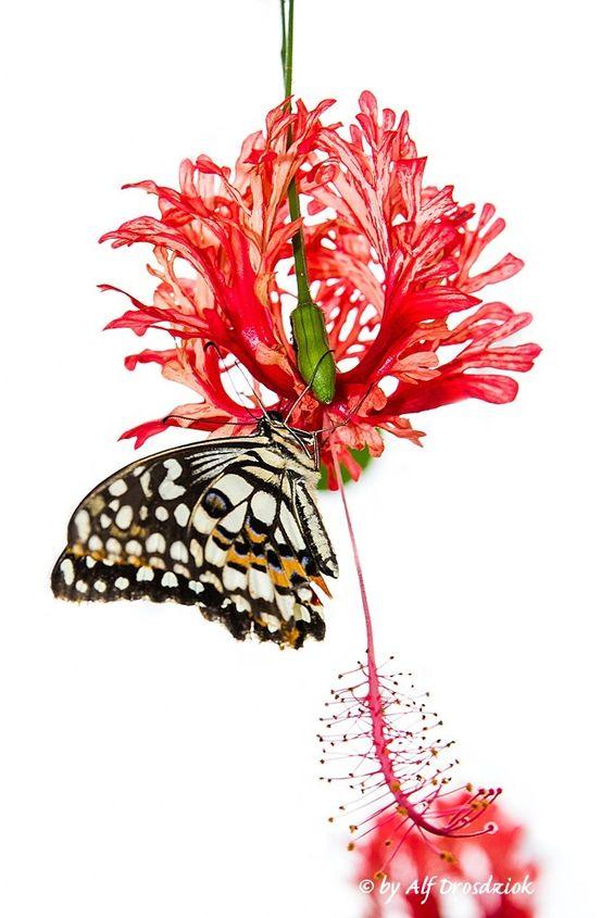 """Schmetterling an Blüte hängend - Butterfly  weitere Schmetterlinge siehe im Set  """"Schmetterlinge & Libellen""""  see more butterflies in the set """"Butterflies & Dragonflies"""""""