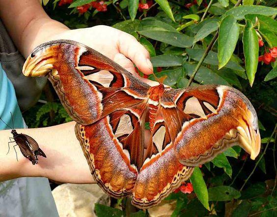 Atlas-moth-Attacus-atlas.jpg (881×690)