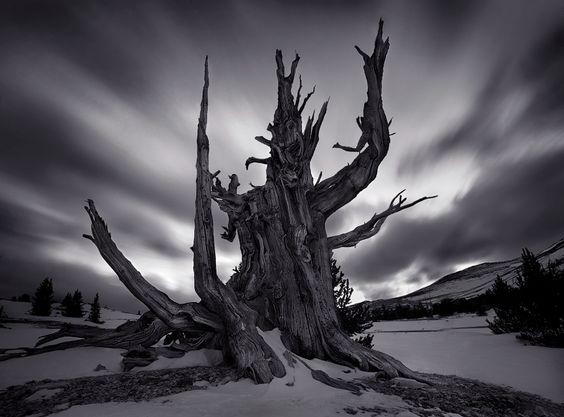 The Tree God - White Mountains, CA - Marc Adamus