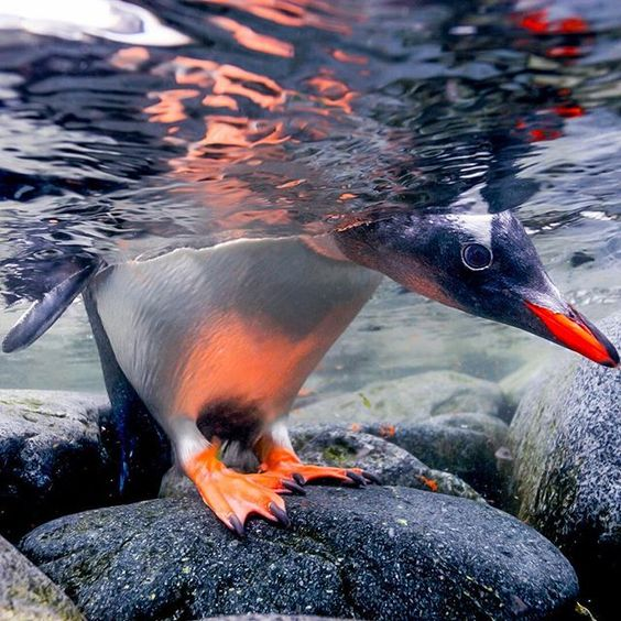 Photograph by @paulnicklen.  A Gentoo Penguin checks to make sure that the coast…