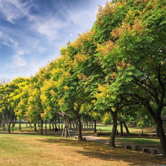 Golden Rain Tree Golden Rain Tree Landscape Trees Deciduous Trees