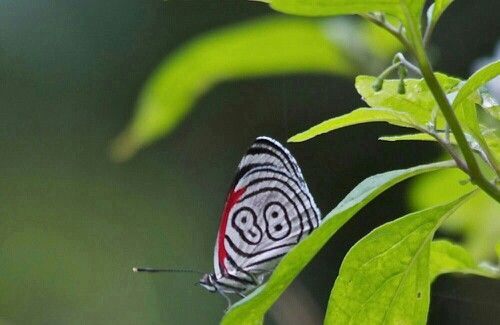 Eighty eight butterfly