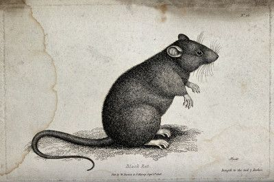 A black rat sitting upright on the ground. Etching by W. S.