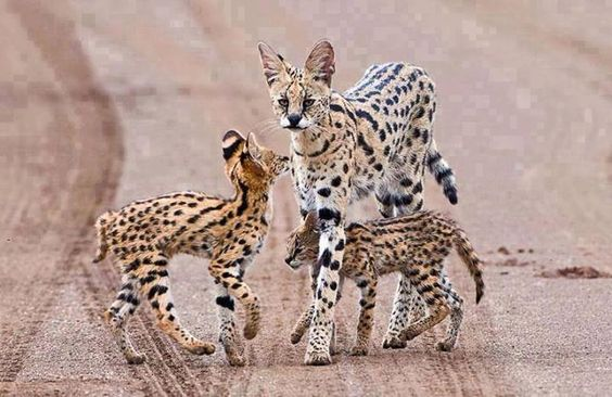 I've never seen Serval babies before!  How ADORABLE!!  Servals & Caracals are in the same family of wild cats; they share the same slight frames and long legs.