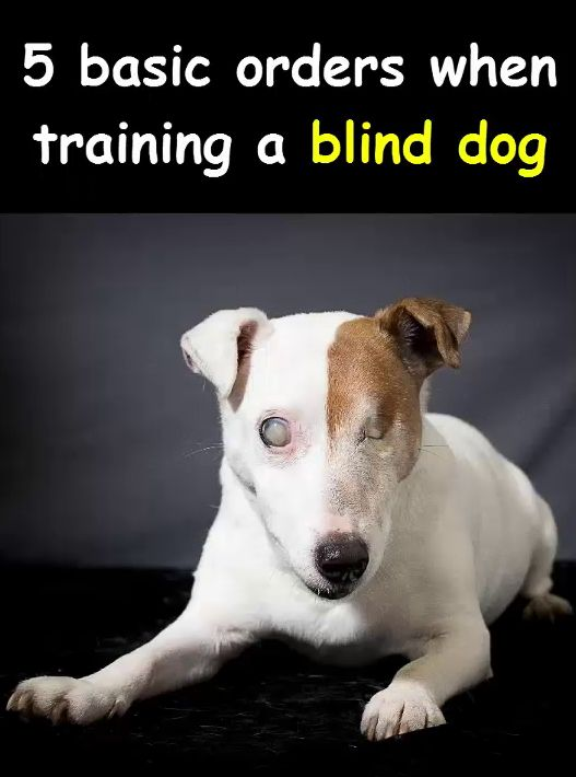 The Most Basic Commands When Training A Blind Dogs And How To Deal