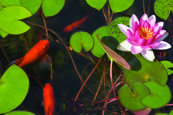 Beautiful lily #pond #lily #fish #Tetrapond