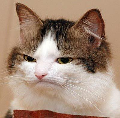 Gallery For gt Funny Angry Cat Face