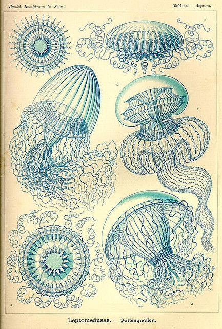 Ernst Haeckel Jellyfish