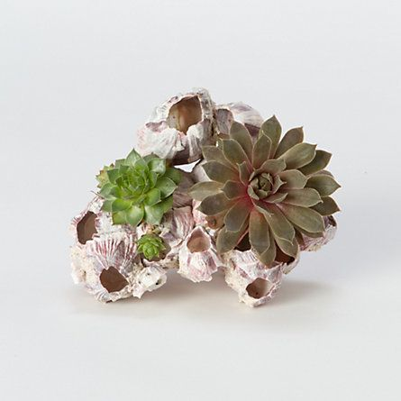 Decorate seaside terrariums with this craggy barnacle cluster.: Cluster Shopterrain, Terrain Barnacle, Barnacle Clusters, Cluster Succulents, My Air Plants, Called Terrain, Bountiful Garden, Garden Plants