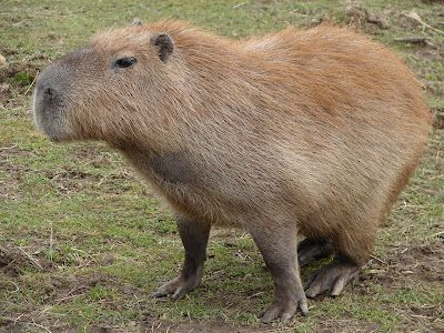 Meet the capybara, the largest rodent in the world. Native to South America, they can grow to up to 4.4 feet in length!