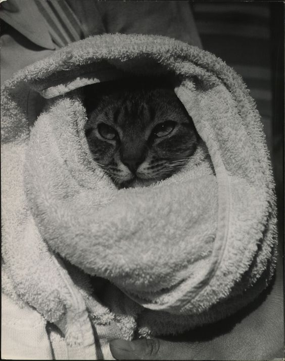 "Cat in a towel. (titled in the archive as ""cat going swimming""). Photo by Nina Leen for LIFE. S)"