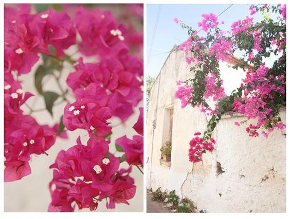 Beautiful Bougainvillea. Crete, Greece.