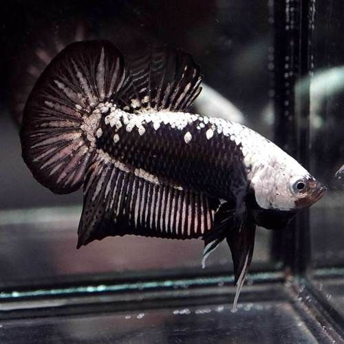 Live Betta Fish Black Samurai Halfmoon Plakat Hmpk Male 165 Aquarium Fish For Sale Fish Live Aquarium Fish