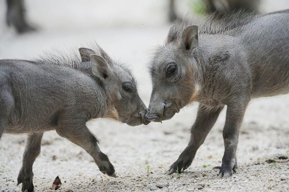 Baby Warthogs Born At Zoo Miami   Cuties!!!!!!!!!