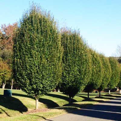 Lombardy Poplar Tree - grows 6 feet per year