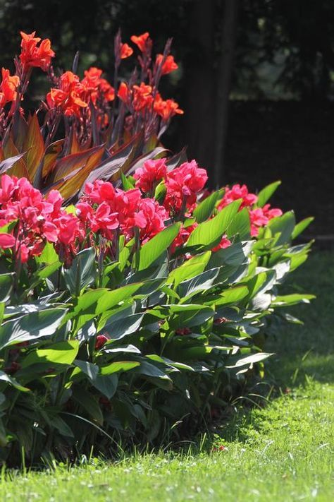 All About Cannas Canna Lily Landscaping Canna Lily Garden Plants