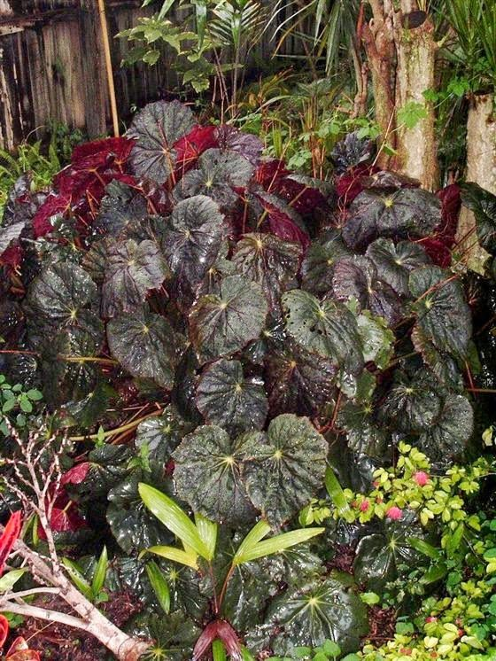 Begonia Caribbean Corsair From Palm Hammock Orchid Estate Rhizomatous Begonia With Shiny Deep Olive Green Wavy Edged 10 In 2020 Horticulture Begonia Pink Flowers