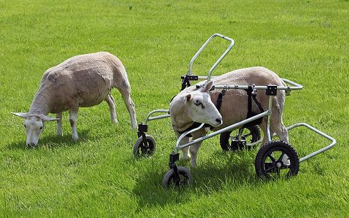 i saw this and love this photo! if a sheep/goat etc. break their leg..they are ALWAYS killed. this is so sweet.