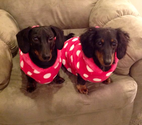 Doxies with dots!